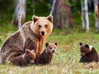 niedźwiedzica, atak, potomstwo, obrona, polana, bieszczady