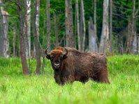 puszcza białowieska, nadleśnictwo białowieża, lasy państwowe, zakaz wstępu, branża turystyczna