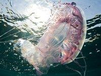 Hiszpania, Costa del Sol, meduzy, poparzenie turystów przez meduzy, kolonie meduz na plaży w Hiszpanii, ministerstwo turystyki Hiszpanii, przełowienie ryb, prądy morskie, plaże, czerwone flagi na plażach, zakaz kąpieli