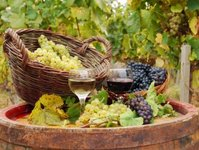 winnice, winnica, Warmia, Mazury, produkcja wina, enoturystyka, turyści, dla turystów, urlop, degustacja wina, wino regionalne, warunki klimatyczne, klimat, winiarnia, winobranie, winifikacja, degustacja