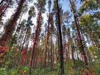 leczenie lasem, forest therapy, drzewoterapia, las, leśne uzdrowiska, leczenie schorzeń psychosomatycznych, terapeuci, leczenie uzależnień, Regionalna Dyrekcja Lasów Państwowych, Uniwersytet Warmińsko-Mazurki, UWM, wydział biologii, dobroczynny wpływ lasu, obniżenie ciśnienia, las sosnowy, liściaty, ośrodki terapeutyczne, runo leśne, Japonia, w Japonii, bory sosnowe, ukła oddechowy, kliniczne objawy przepracowania, niepełnosprawność, Marcin Żurkowski, dr Gołos, Instytut Badawczy Leśnictwa w Warszawie, Warszawa